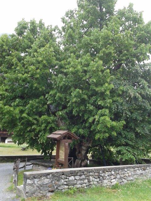Tiglio del 1200 albero più vecchio D'Italia