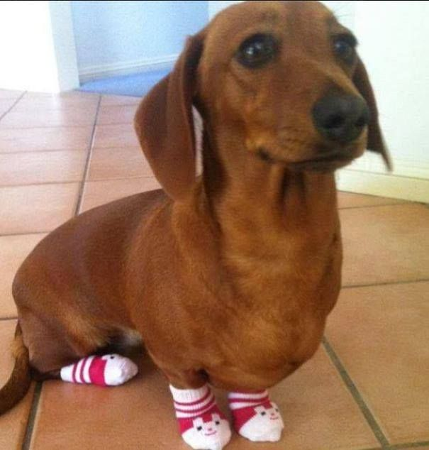 cute knit socks to keep his lil' paws warm doxie - 1102 Best Dachshund Delights Images On Pinterest Weenie Dogs