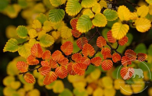 Fagus in the Autumn, Cradle Mountain National Park, Tasmania