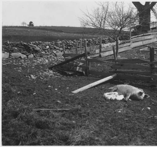 Pigs on Farm :: Steinmetz Digital Collection of Schenectady: