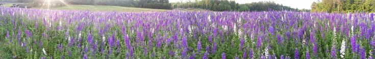 Purple lupines in a field maintained by the NC DOT's Wildflower program.  Buy more vanity plates!