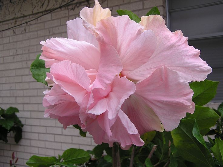 Sweet Pink | This is the Sweet Pink hibiscus, a newly availa… | Flickr