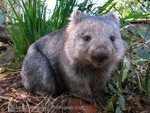 OMG WOMBATS. My new favourite animal.