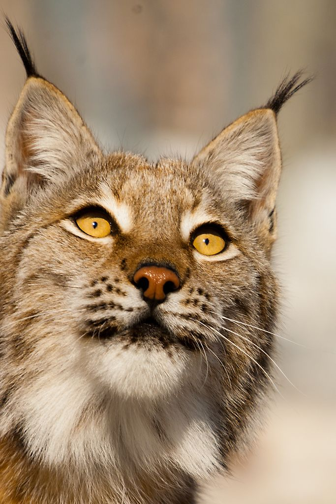 All sizes | Lynx, close | Flickr - Photo Sharing!