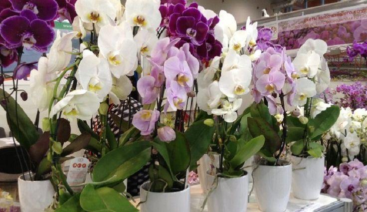 Az én orchideáim, az én büszkeségeim! A titok, hogyan szaporítsuk őket… - Bidista.com - A TippLista!