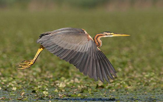 Purple Heron. Birdwatching in the Danube Delta. Romania.