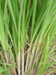 cana santa plantas medicinales >> http://www.pinterest.com/anaisprats/plantas-medicinales/
