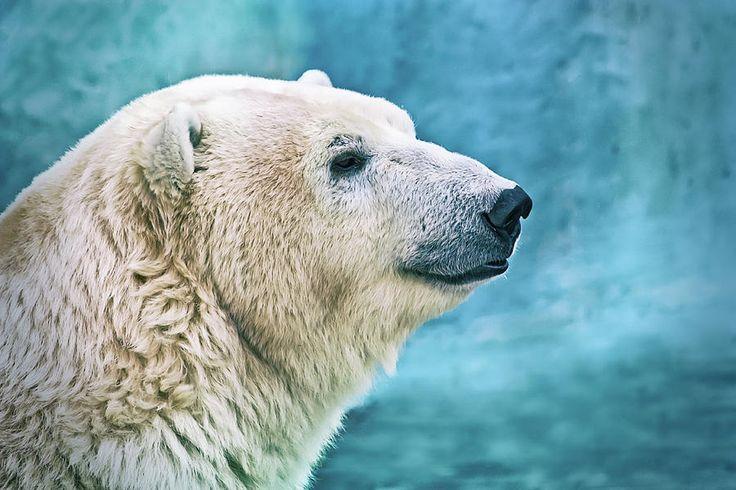 Polar Bear Photograph by Oksana Ariskina #OksanaAriskina #OksanaAriskinaFineArtPhotography #FineArtPhotography #HomeDecor #FineArtPrint #PrintsForSale #Bear #PolarBear #Nature #Portrait #White #Blue www.oksana-ariskina.pixels.com @pixels @fineartamerica
