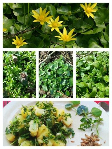 AARDAPPELSALADE MET VROEGE VOORJAARSGROENTE Ingrediënten: Voor de salade: - 1kg geschrapte aardappels - fijngesneden lente-ui - 150 gram gehakte voorjaarsgroente zoals de blaadjes van speenkruid (voor de bloei!), winterpostelein en vogelmuur Voor de dressing: - 3 eetl rode wijnazijn red wine vinegar - 5 eetlepels extra vergine olijfolie - 2 eetlepels fijngesnipperde verse peterselie - zout en peper naar smaak. Bereiding: Breng wat lichtgezouten water in een pan aan de kook, voeg de…
