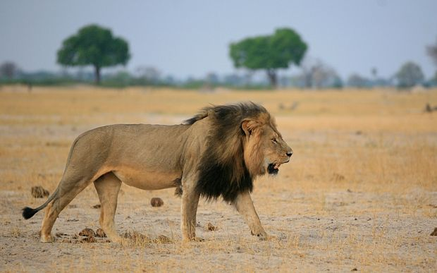 The death of Cecil the Zimbabwean lion has caused outrage. But the truth about hunting big game is that it creates incentives for conservation
