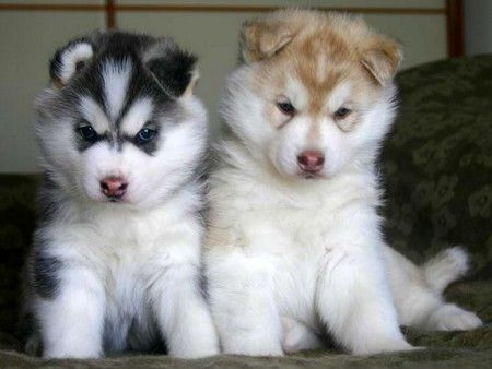 i am definitely getting huskies when i get my own place. i love themmm