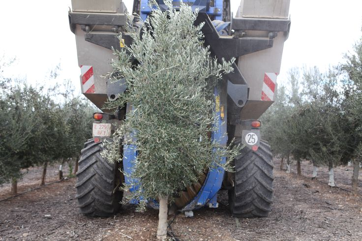 www.oleoalmanzora.com  extra virgin olive oil, aceite de oliva virgen extra, calidad gourmet. Aove, evoo, Salud y bienestar.