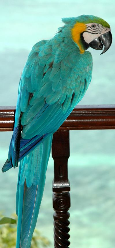 beautiful colour amazing birds so intelligent great friends and companion i love all birds & donate to the rspb xx