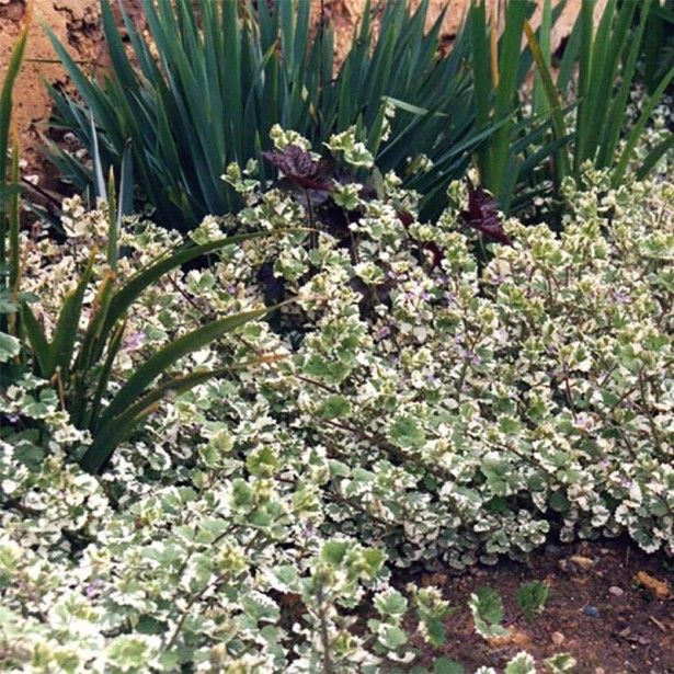 Glechoma hederacea Variegata - Lierre terrestre panaché