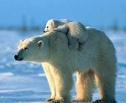 (hang on little one!) #wildlife #facts #Polar #bears have evolved adaptations for Arctic life. For example, large furry feet & short, sharp, stocky claws give them good traction on ice. #threatened #vulnerable #species #cubs #cute #Moms & #Babies