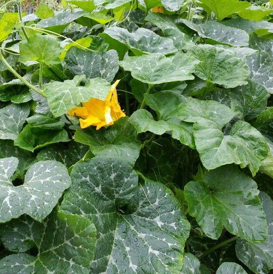 호박잎 쪄서 쌈싸먹고 싶네요. 호박꽃 속에선 벌이 열심히 수분(受粉)을 도우며 꿀을 모으고 있어요. 벌은 <비 오는/일요일/오후>인데도 쉬지 않는군요.