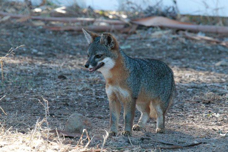 Santa Cruz Island Fox (Urocyon littoralis santacruzae) observed by danielgeorge on November 20, 2015 · iNaturalist.org