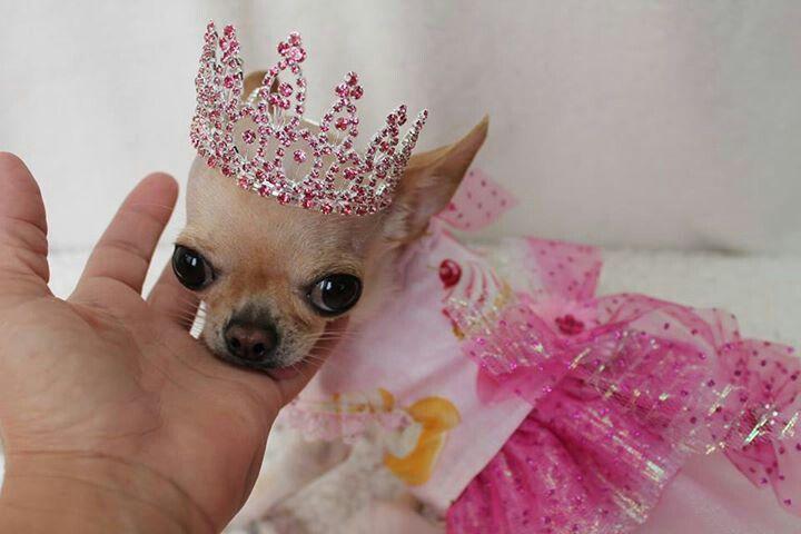 pretty princess puppy pinterest princess dog and