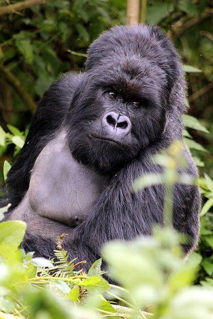 Taken by the Dian Fossey Gorilla Fund International