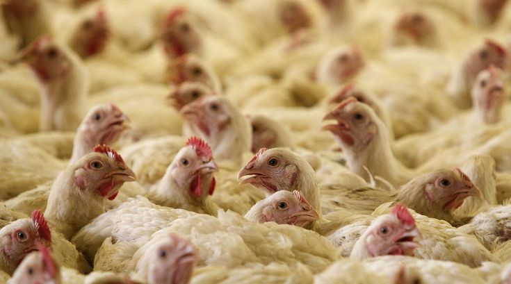 As many as 900 fowls were culled after the H5N1 bird flu virus was detected in a dead bird in Bengaluru Read this full article on Firstpost.com