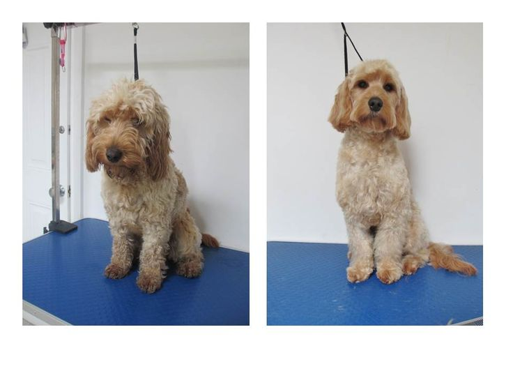 32 best dog grooming at the dog hut cheltenham images on pinterest lovely lola the cockerpoo in for a tidy up at the dog hut solutioingenieria Image collections