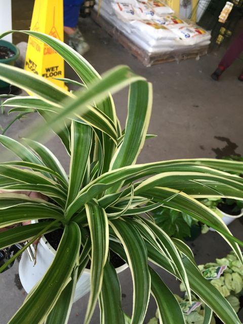 Chlorophytum Comosum Picturaratum | Spider Plant