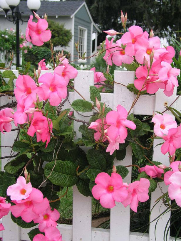 One of our Favorite Flowers, the Mandevilla! http://www.hgtvgardens.com/flowers-and-plants/flower-of-the-day-mandevilla?soc=pinterest