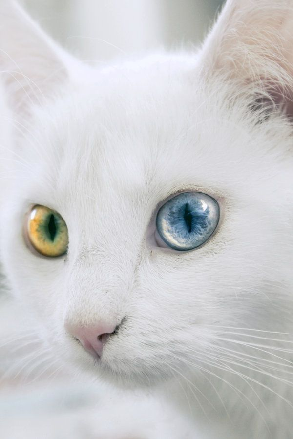 Wow, just wow.... This cat has heterochromic iridum, a genetic trait, which is where the eyes are two different colors.