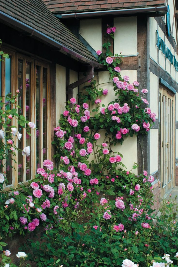 Ho/how to take care of climbing roses for winter - Gertrude Jekyll Climbing Rose Named For The Grand Dame Of English Gardening In The Edwardian Era A Lovely English Rose From David Austin