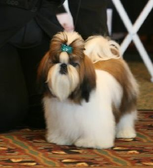 Popular Shih Tzu Haircuts | Shih Tzu Dogs Breeders Reviews and Pictures