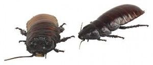 Cockroach allergy is a latecomer to the allergy scene, as its role in asthma was not recognized until 1967. The two most common cock­roach species in the United States are the American and German cock­roaches. The German cockroach is a small insect—approximately three-quarters of an inch in Cockroach Allergylength—that infests kitchens and bath­rooms.