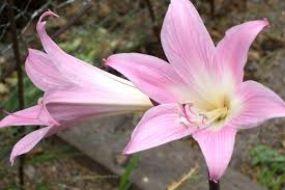 Amarylis (M) - forma silikonowa Aldaval 8004, mata do odciskania unerwienia, veiner, sklep La-Torta, przykład jak zrobić kwiaty cukrowe