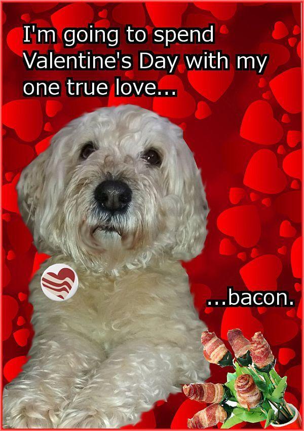 My Wheaten Terrier's perfect Valentine.