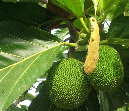 how to grow a breadfruit tree from seed