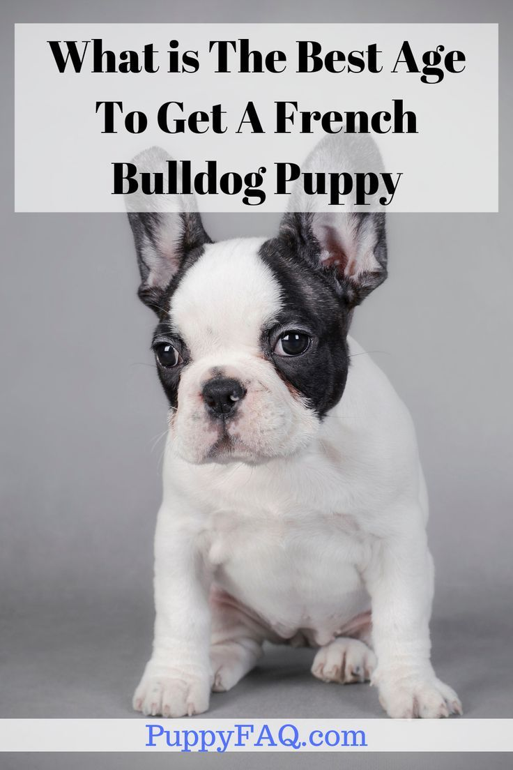 What Is The Best Age To Get A French Bulldog Puppy With Images French Bulldog Bulldog Puppies French Bulldog Puppy