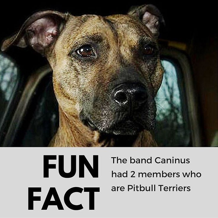 Caninus was a deathgrind band formed as a side project by Most Precious Blood guitarist Justin Brannan, Rachel Rosen, drummer Colin Thundercurry and two female pitbull terriers, Budgie and Basil. On January 5, 2011, Basil, one of Caninus's pit-bulls, died. Basil had been diagnosed with a brain tumor and was euthanized. The band has ended because of the dog's death. #alternatetone