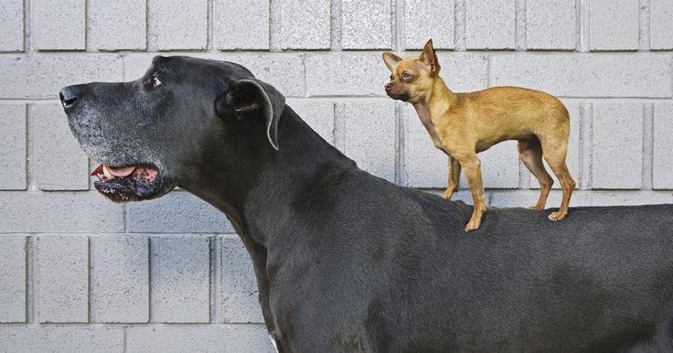 Reacción de las vacunas en perros. Los veterinarios administran rutinariamente vacunas como parte estándar del cuidado de las mascotas; de hecho, las vacunas antirrábicas regulares son obligatorias por parte de muchos gobiernos estatales. Se acepta ampliamente por la comunidad veterinaria que las enfermedades prevenidas son más peligrosas que las propias vacunas, sin embargo, ...