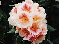 Rhododendron List for 2014 » Nichols Garden Group Ltd