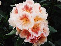 Rhododendron List for 2014 » Nichols Garden Group Ltd