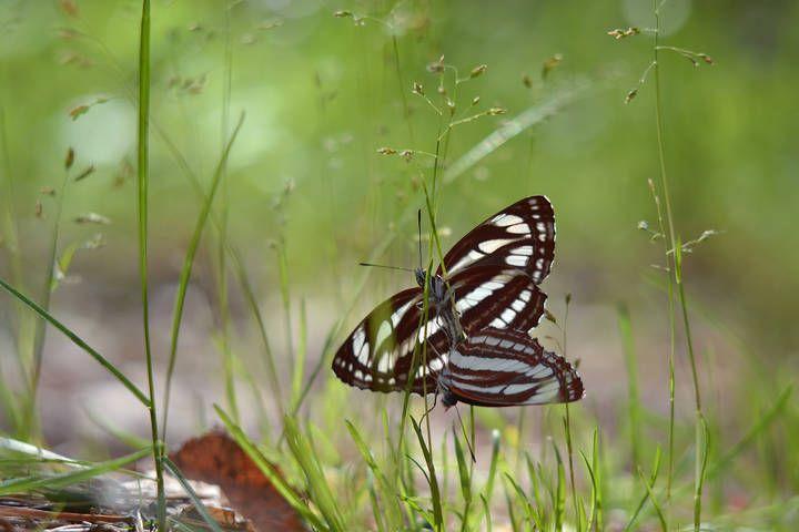 Пеструшка темнокрылая.. Фотография автора Наталья Куренкова. Опубликована 2017-06-18 19:06:11