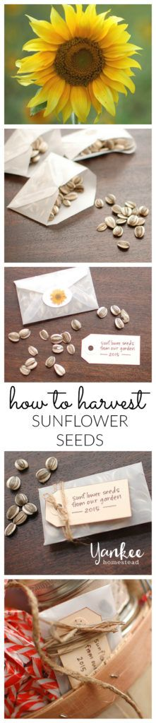 It's simple to harvest sunflower seeds. Homegrown sunflower seeds make great DIY garden gifts, and will save a bit of room in your gardening budget for next year.