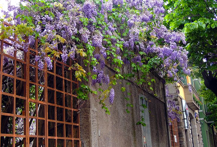 Wisteria blooming in one of the newer sections of town.