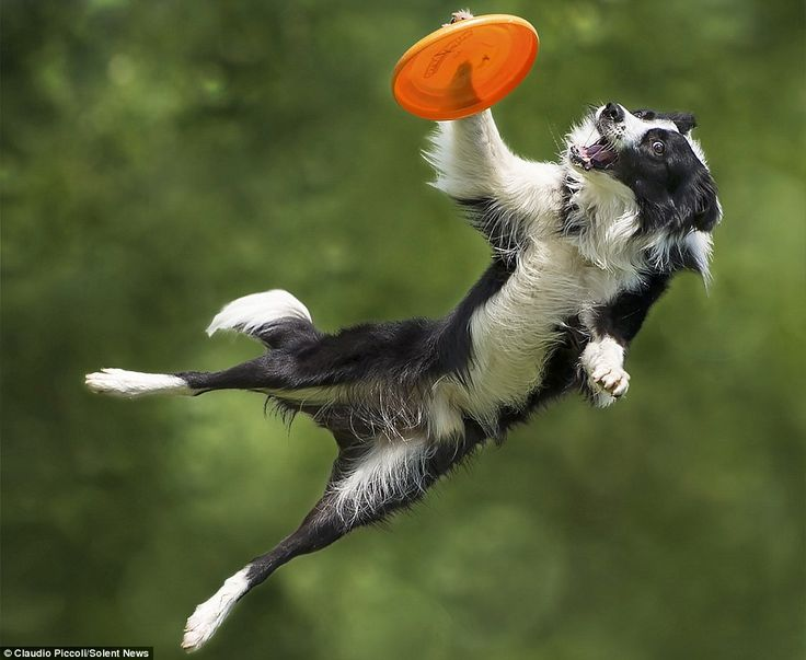 A group of energetic border collies show off their agility by leaping 6ft in the air to catch frisbees. One BC appears to catch the orange toy with its right front paw before placing it in its mouth.