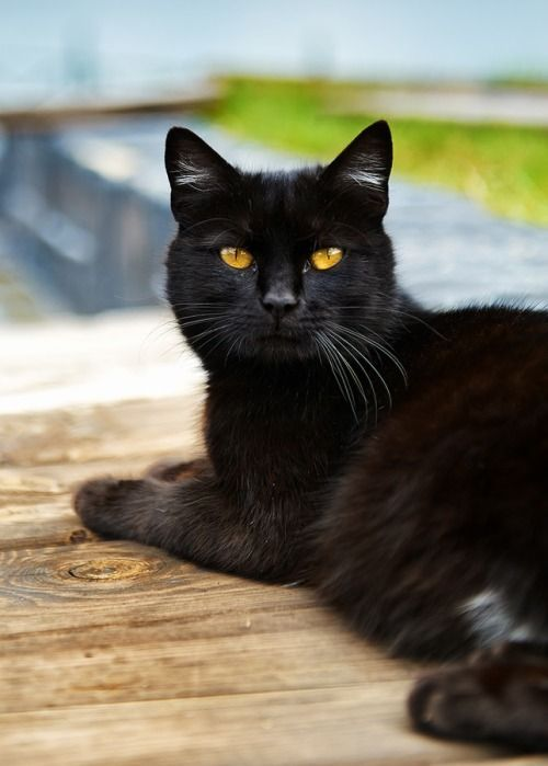 Almost Black Beautiful black cat. Even with some white some people are hesitant to adopt  and even buy a black cat. They need love too.Theincensewoman
