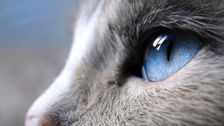 Profiel van een kat met blauwe ogen foto