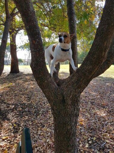 Jack Russel in a tree