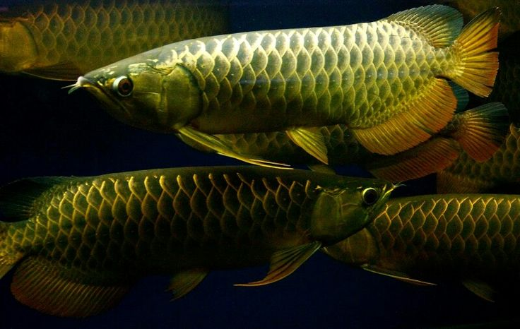 131 best images about arowana on pinterest cichlids for Freshwater dragon fish