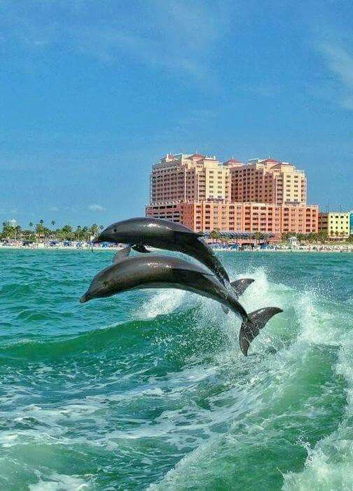 Dolphins in St.Petersburg, FL