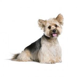 È un cane di piccola taglia, molto elegante; dal pelo lungo e tricolore separato in una fila al centro del dorso che lo fa scendere perpendicolare ai fianchi.