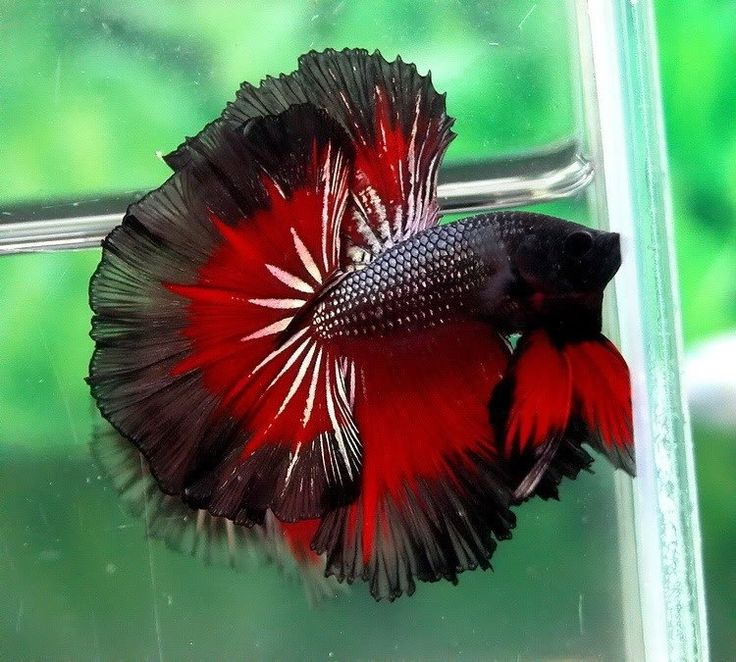 Chinese fighting fish red black all kinds of different for Black betta fish for sale